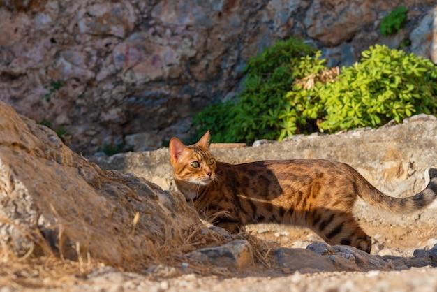 Kot bengalski, rasowy kot domowy chodzący po kamieniach, zwierzę w naturalnym środowisku, turcja