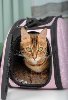 Kot bengalski siedzący w różowej torbie dla zwierząt domowych