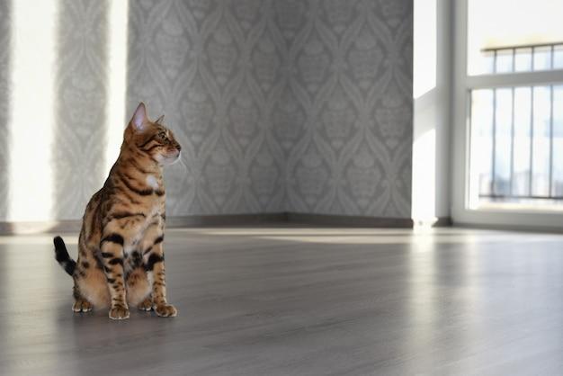 Kot bengalski siedzi na podłodze w pustym pokoju