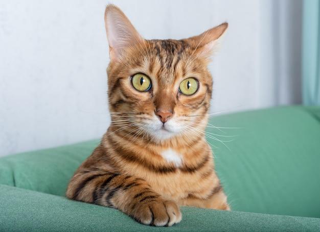Kot bengalski siedzi na zielonej sofie w pokoju, opierając się na łokciu