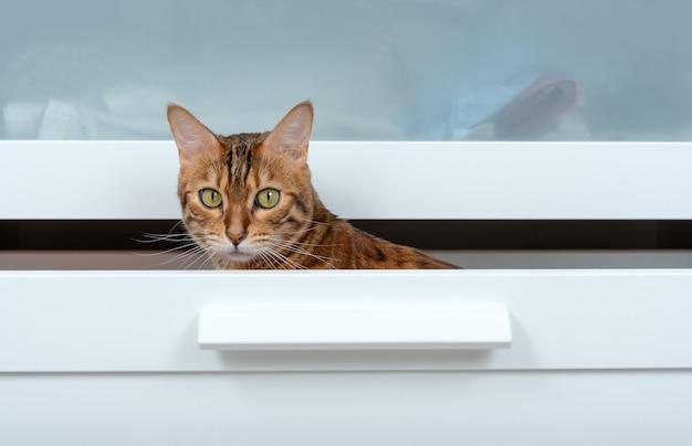 Kot bengalski siedzi w szufladzie białej komody