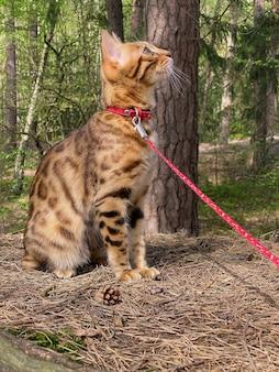 Kot bengalski spacerujący po lesie