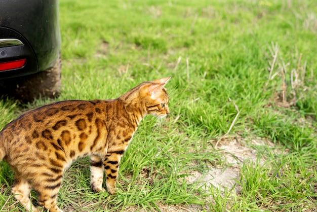 Kot bengalski spaceruje latem obok czarnego samochodu na łonie natury