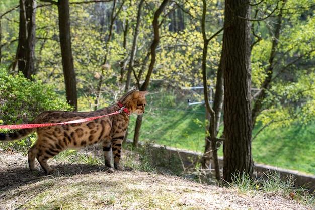 Kot bengalski spaceruje po lesie