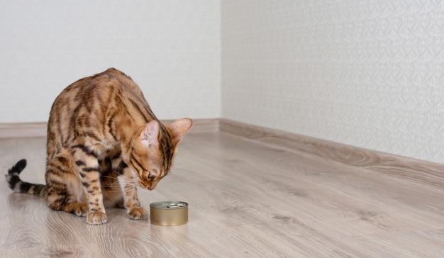 Kot bengalski sprawdza mokrą karmę w puszkach