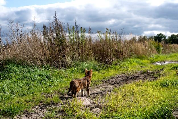 Kot bengalski stoi na ścieżce w polu i spogląda w kierunku zielonej trawy