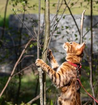 Kot bengalski wspina się na gałąź w lesie