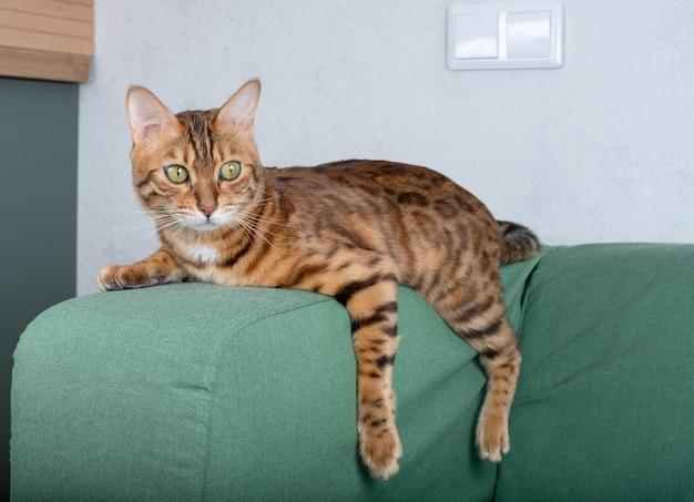 Kot bengalski wypoczywa na kanapie w salonie, leżąc w zabawnej pozie na kocu. zwierzę cieszące się spokojem w domu