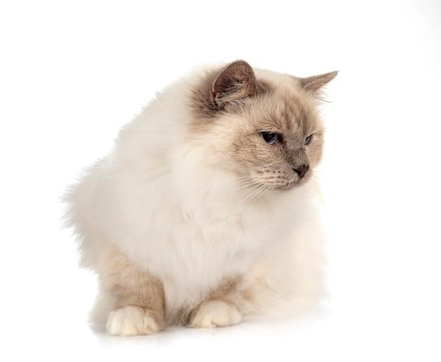 Kot birmański przed białym tłem