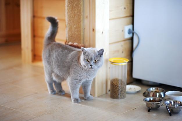 Kot brytyjczyk przy misce z jedzeniem