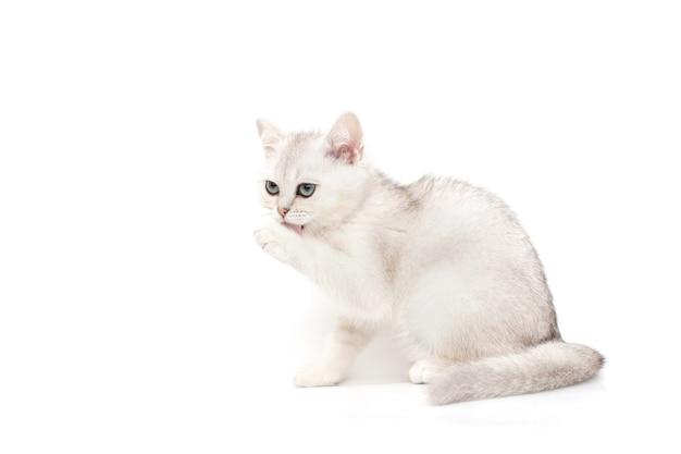 Kot brytyjski biały na białym myje, liże łapę