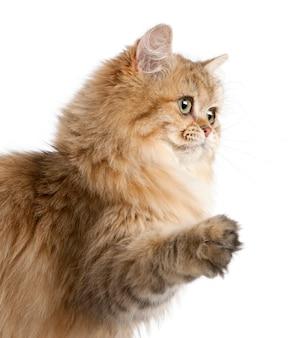 Kot brytyjski długowłosy (4 miesiące)