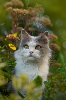 Kot brytyjski długowłosy zabawy na świeżym powietrzu. koncepcja szczęścia zwierząt. upraw modny portret kota. przytnij obraz twarzy kota z pięknymi oczami.