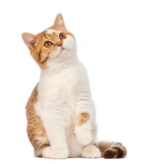 Kot brytyjski krótkowłosy (3,5 miesiąca) siedzi i patrzy w górę