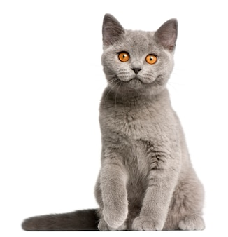 Kot brytyjski krótkowłosy (3 miesiące), kot brytyjski krótkowłosy (3 miesiące), kot brytyjski krótkowłosy (3 miesiące)