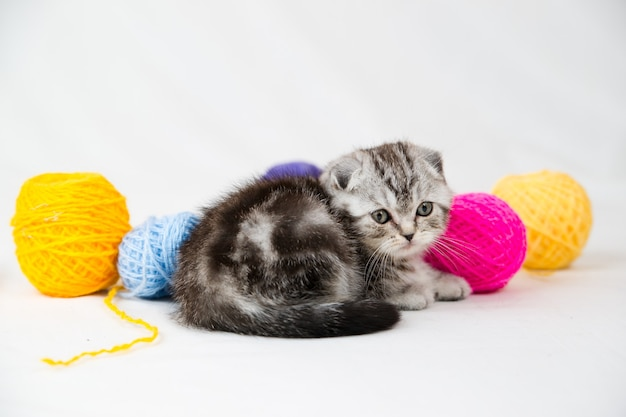 Kot brytyjski krótkowłosy na białym tle