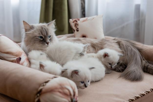 Kot brytyjski krótkowłosy o srebrno-niebieskich oczach leży na sofie z różowym obiciem ze swoimi kociętami