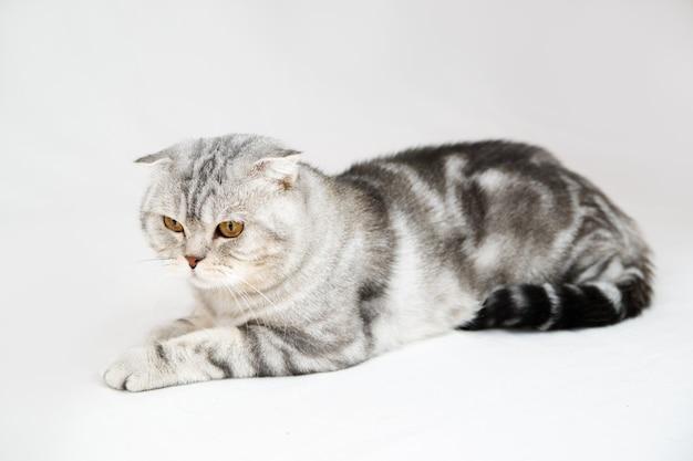 Kot brytyjski krótkowłosy. portret zwierzaka