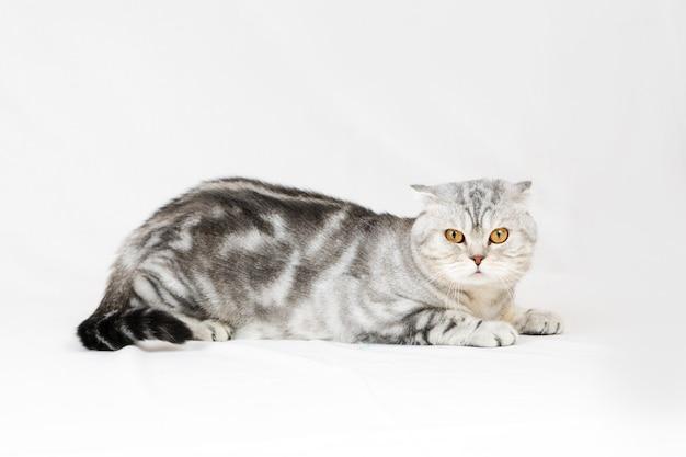 Kot brytyjski krótkowłosy. pozowanie zwierzaka