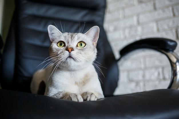 Kot brytyjski krótkowłosy siedzący na drewnianej podłodze i patrzący w bok