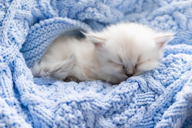 Kot brytyjski krótkowłosy śpi zakopany w niebieskim dzianinowym kocu nevsky masquerade cat color point