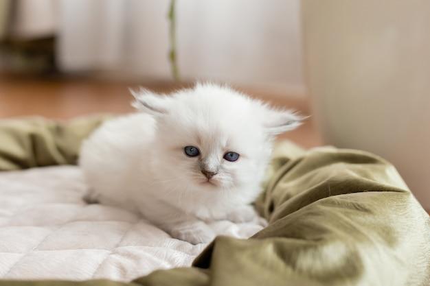 Kot brytyjski krótkowłosy srebrnego koloru o niebieskich oczach leży w kocim posłaniu rodowód zwierzaka
