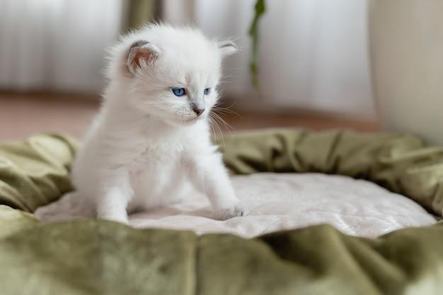 Kot brytyjski krótkowłosy srebrnego koloru siedzi lub stoi w kocim posłaniu