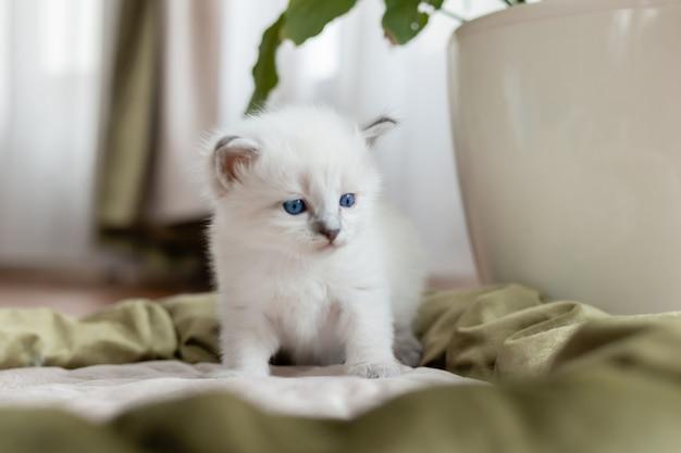 Kot brytyjski krótkowłosy srebrnego koloru siedzi w kocim łóżku na tle pokoju kwiat w doniczce