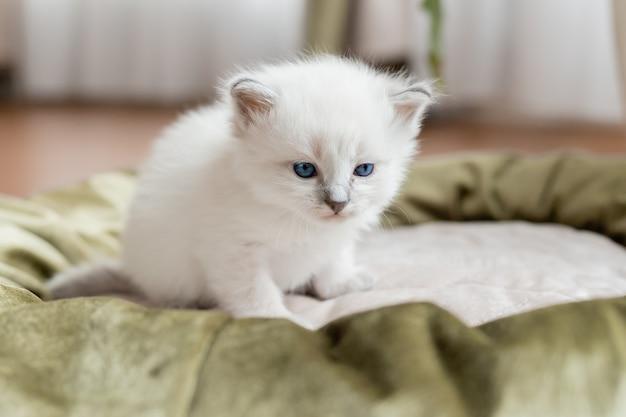 Kot brytyjski krótkowłosy srebrnego koloru siedzi w kocim łóżku na tle pokoju kwiatowego