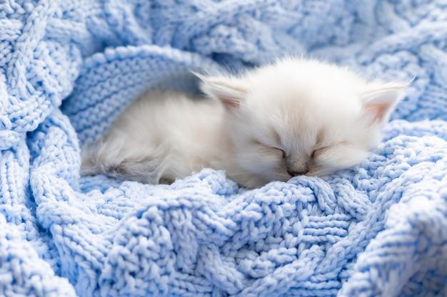 Kot brytyjski krótkowłosy srebrnego koloru śpi zakopany w niebieskim dzianinowym kocu color point