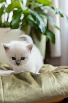 Kot brytyjski krótkowłosy srebrnego koloru stoi w kocim posłaniu na tle pokoju kwiatowego