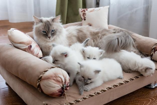 Kot brytyjski krótkowłosy srebrnego koloru z niebieskimi oczami leży na kanapie ze swoimi kociętami