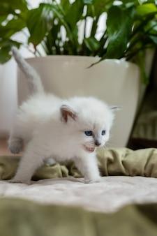 Kot brytyjski krótkowłosy stoi w kocim łóżku na tle pokoju kwiatowego w białej doniczce