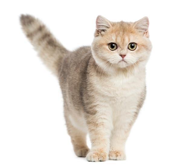 Kot brytyjski krótkowłosy stojący