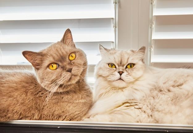 Kot brytyjski krótkowłosy szary i biały kot brytyjski długowłosy siedzą w oknie.