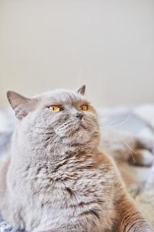 Kot brytyjski krótkowłosy szary siedzi w domu na łóżku.