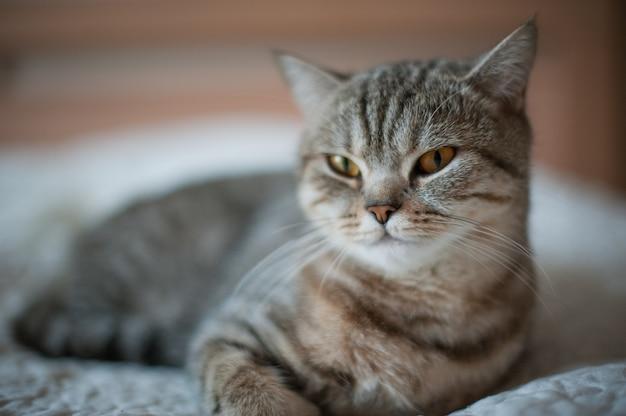 Kot brytyjski krótkowłosy z żółtymi oczami leżący na łóżku.