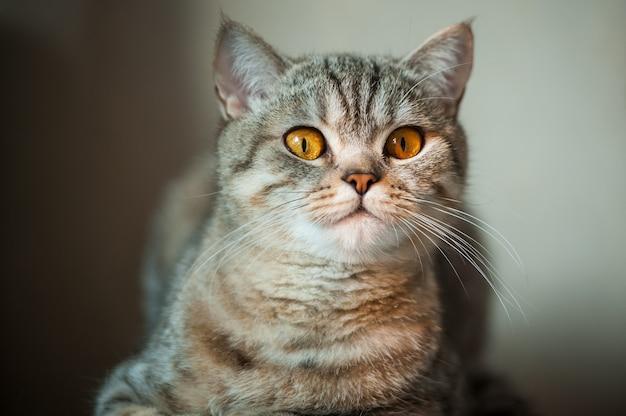 Kot brytyjski krótkowłosy z żółtymi oczami leżący na stole.
