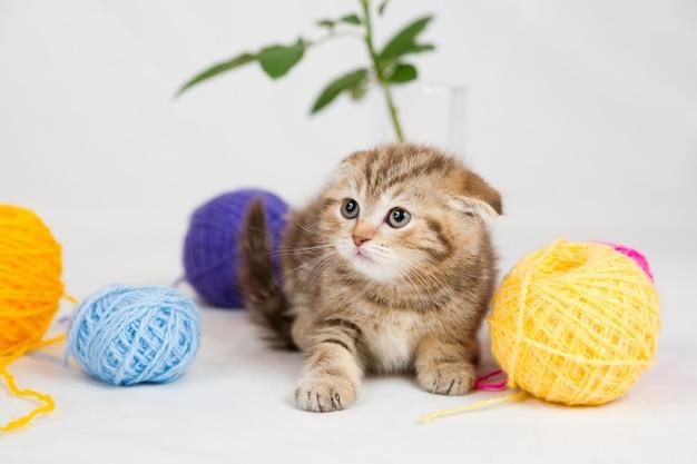 Kot brytyjski krótkowłosy. zwierzak bawiący się wełnianymi piłeczkami