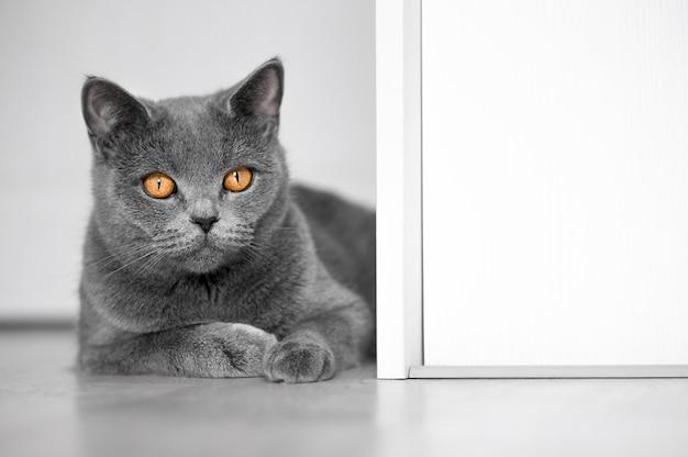 Kot brytyjski leży na białej podłodze i patrzy w kamerę