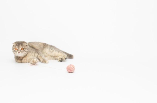 Kot brytyjski pręgowany grający na białym tle w czerwony clew