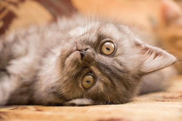 Kot brytyjski w szare paski