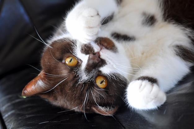 Kot brytyjski z krótkimi włosami i jasnożółtymi oczami