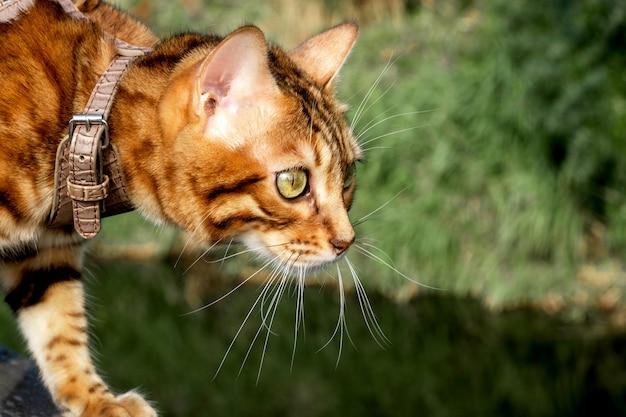 Kot domowy bengalski ostrożnie patrzy w bok, spacerując po parku