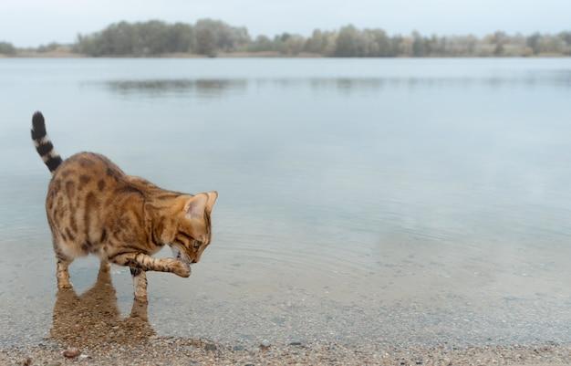 Kot domowy bengalski stoi w wodzie jeziora i liże łapę.