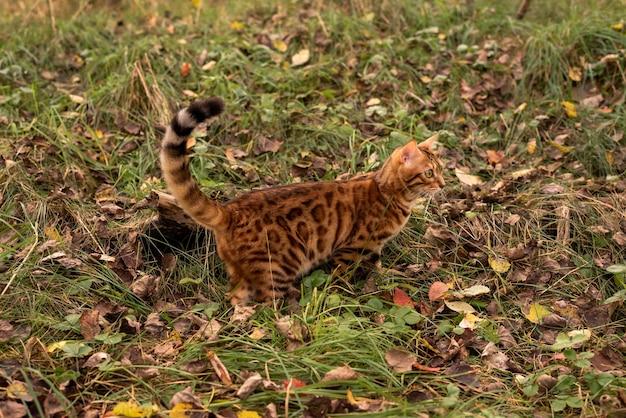 Kot domowy chodzi po opadłych liściach w lesie jesienią widok z boku