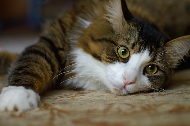 Kot domowy leży na dywanie