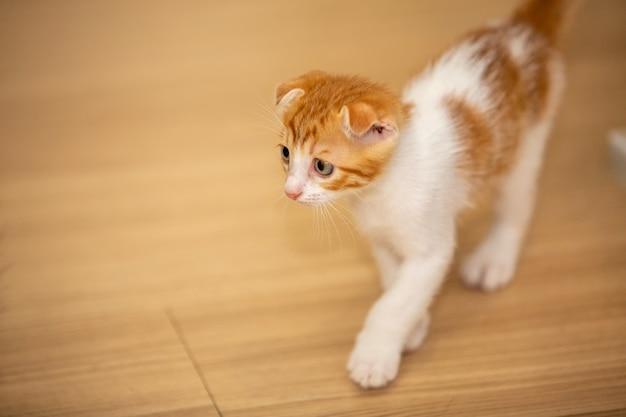 Kot domowy leży na podłodze patrząc w kamerę