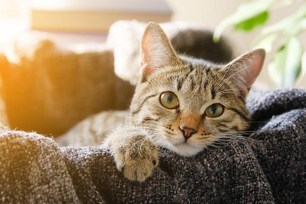 Kot domowy leży w koszu z dzianinowym kocem, patrząc w kamerę. przyciemniane zdjęcie.