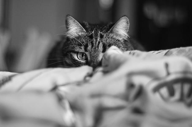 Kot domowy poluje zza zasłony.